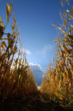 Corn in Cornfield. With sky and clouds Royalty Free Stock Photos