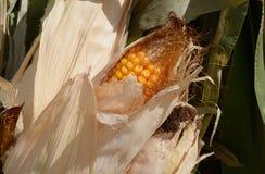 Corn on cornstalk. Close up of ear of corn on corn stalk Royalty Free Stock Photo