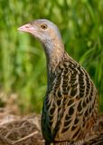 Corn crake back view portrait from short distance royalty free stock image