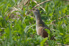 Corn crake calling Stock Photography