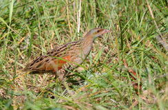 Corn crake on green grass stock photo