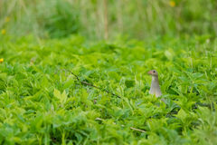 Corn Crake in green Royalty Free Stock Photo