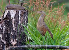 Corn crake lurks himself in wet grass near a tree stump royalty free stock image