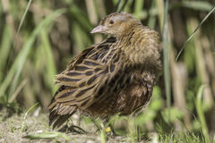 Corn crake - Landrail - in classic profile pose. The corn crake, corncrake or landrail (Crex crex) is a bird in the rail family. Here shown in classic profile Royalty Free Stock Images