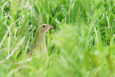 Corn crake in a long grass Royalty Free Stock Images