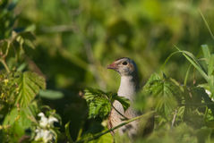 Corn crake Stock Photography