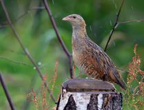 Corn crake stands behind a birch stump with falling rain drops stock images