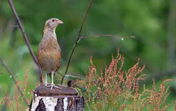 Corncrake stands out on a birch stump in rainy weather royalty free stock image