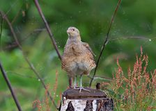 Corn crake shaking off water in splash of drops stock images