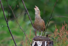 Corncrake sings his loud song on a birch stump stock photo
