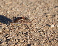 Corn Cricket 2 Stock Images