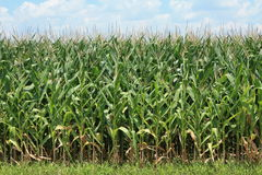 Corn Crop. Southeast Arkansas is part of the flat area called the Delta. It's land is rich in nutrients and good for farming. There are many fields like this one Royalty Free Stock Photography