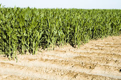 Corn crop Stock Image