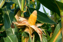 Corn crop. Ear of corns ready for harvest Stock Photography