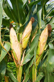 Corn crop. Ear of corns ready for harvest Stock Image