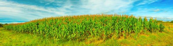 Corn crop royalty free stock photos