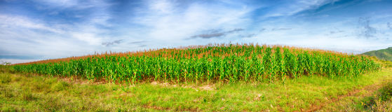 Corn crop stock photos