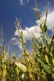 Corn crop. S in a green meadow under a blue sky Stock Photo