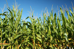 Corn Crop Royalty Free Stock Images