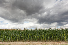 Corn crop with dramatic sky Stock Image
