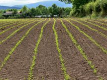 Corn crop field. Early growth on Maize crop in Ireland Stock Image