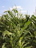 Corn crop field. Stock Photography