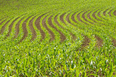 Corn Crop Field. Corn plants in a row Stock Photography