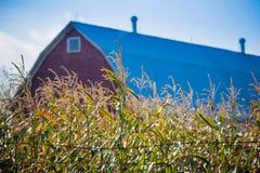 Corn Crop Stock Images