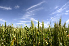 Corn crop field in summer Royalty Free Stock Image