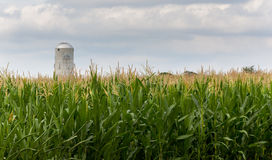 Corn crop flowers with silo in distance Royalty Free Stock Images