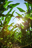 Corn crop Royalty Free Stock Photography