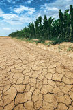 Corn crop growing in drought conditions Stock Photo