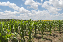 Corn crop growing. Sunny day Royalty Free Stock Images