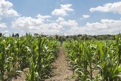 Corn crop growing Stock Images