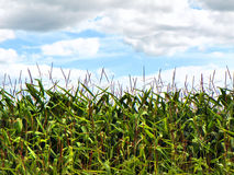 Corn crop growing under blue cloudy sky in summer. Horizontal image of a hot summer day walking through ripe corn fields. Corn in New York State can grow from 7 Royalty Free Stock Images