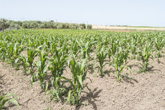 Corn crop growing Stock Photography