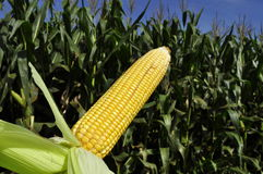 Corn crop. Looking the abundance from the field, the corn crop is important for growers around the world, the beautiful contrast between the intense green in the Royalty Free Stock Images