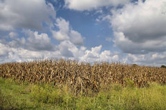 Corn crop ready for harvest Royalty Free Stock Photos