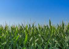 Corn Crop Stock Photos