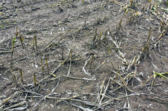 Corn crop residues. Stock Images