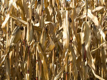 Corn crop at summer Stock Photography
