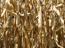 Corn crop at summer Stock Photography