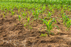 Corn crop was planted Royalty Free Stock Photo