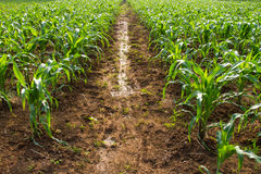 Corn crop was planted Stock Photography