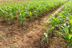 Corn crop was planted Royalty Free Stock Image