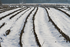 Corn crop in winter time Stock Photos
