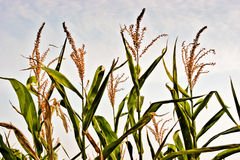 Corn crops Stock Image