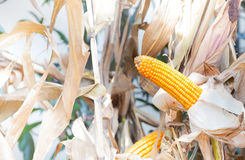 Corn crops on dried corn trees is prompt to harvest Stock Image