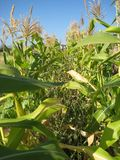 Between the corn crops. Corn crops in a family farm located in Ovalle, ChilenThe corn is harvested in summer for be used in many typical dishes royalty free stock photos