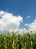 Corn crops field Royalty Free Stock Photography